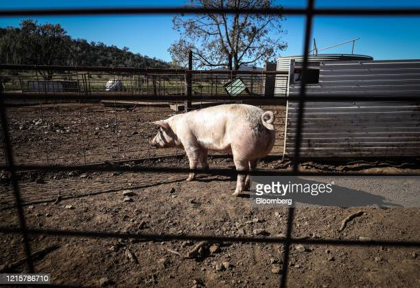 Pig stands in a yard at a free range pig farm near Gunnedah, New South Wales, Australia, on Wednesday, May 27, 2020. After Prime MinisterScott...