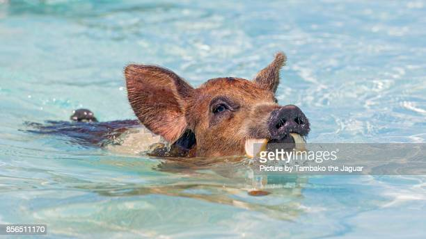 Pig swimming with toast in the mouth