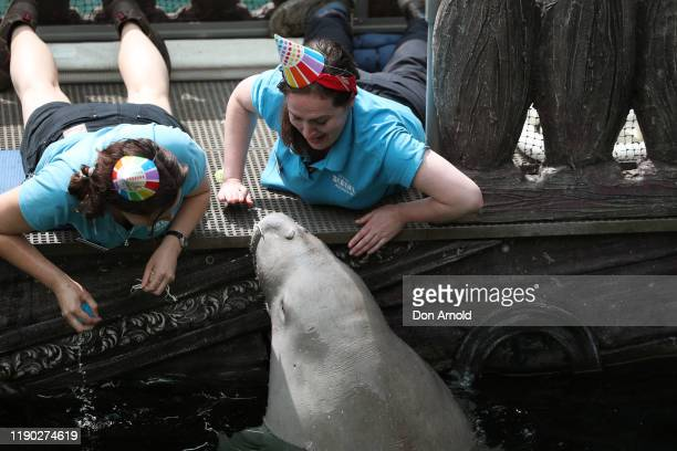 Pig the Dugong celebrates his 21st birthday with cake and lettuce during birthday celebrations at SEA LIFE Sydney Aquarium on November 27 2019 in...