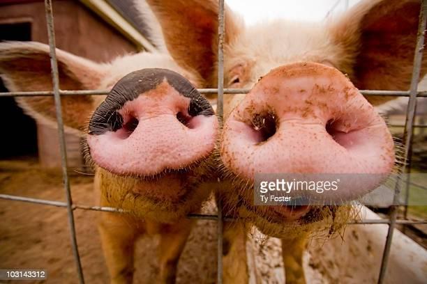 Pig Twins