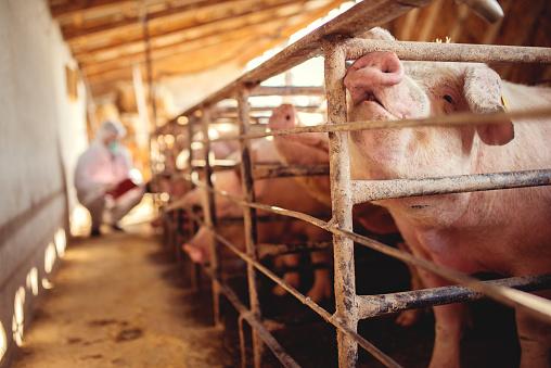 Pig vet checking pigs for diseases. Veterinarian at pig farm. 923949470