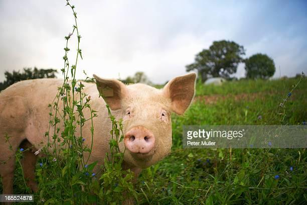 Pig walking in tall grass