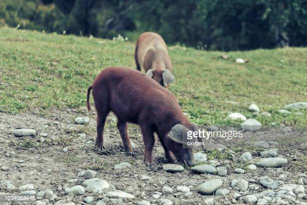 pig walking through the village - pig in shit stock pictures, royalty-free photos & images