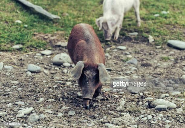 pig walking through the village