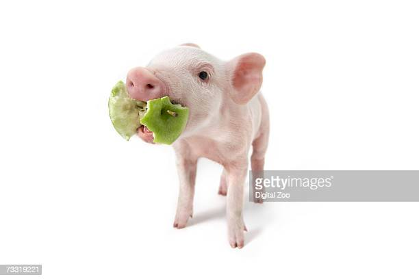 Pig with apple core in mouth, white background