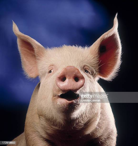 Pig with blue background
