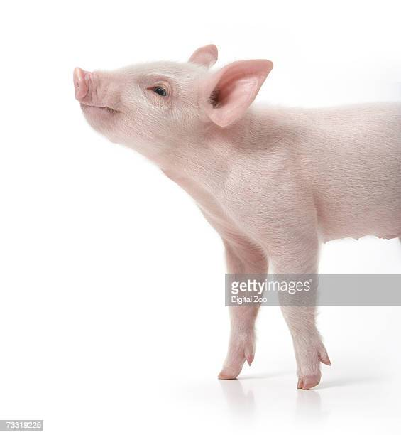 Pig with nose in air, side view, white background