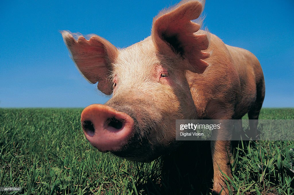 pig with notched ears stock photo
