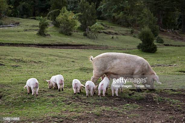 A pig with piglets in a field