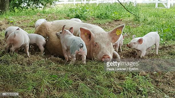 Pig With Piglets Relaxing On Grassy Field