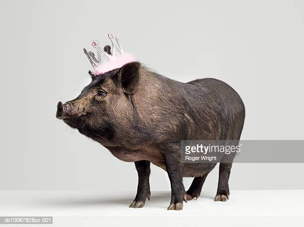 Pig with toy crown on head, studio shot