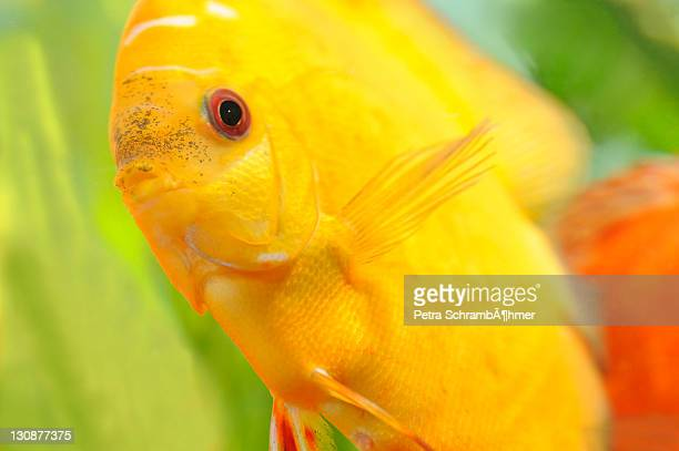 pigeon blood, discus fish (symphysodon) - yellow perch stock photos and pictures