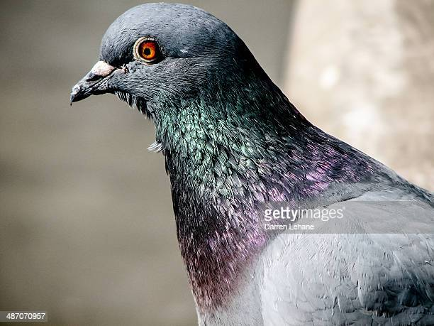 Pigeon Close-Up