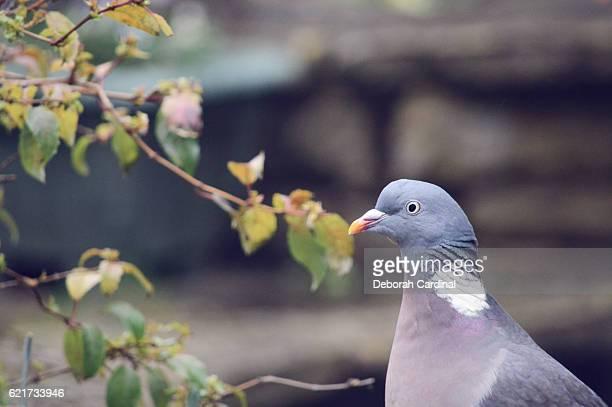 pigeon close-up - サットンコールドフィールド ストックフォトと画像