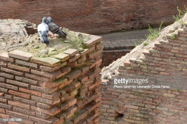 a pigeon couple at the colosseum - leonardo costa farias stock photos and pictures