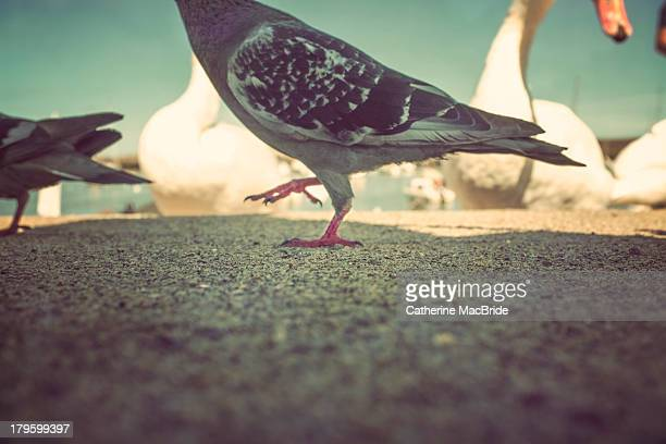pigeon dance - catherine macbride stock pictures, royalty-free photos & images