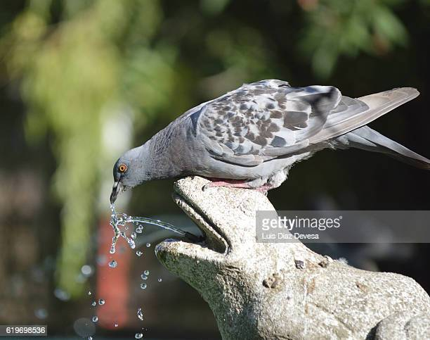 Pigeon drinking in a frog shaped fountain