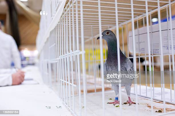 pigeon fanciers competition - pigeon stock pictures, royalty-free photos & images