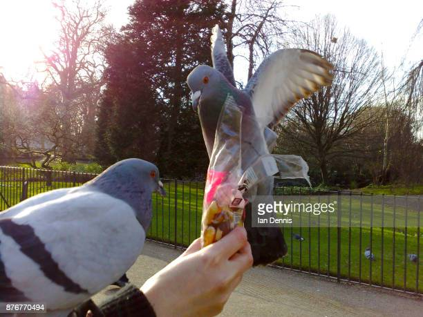 Pigeon feeding from a hand