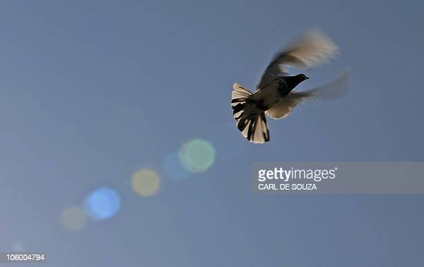 A pigeon flies from a coop in Lahore on October 24 2010 It is estimated that there are over 300000 pigeon fanciers in Lahore which has a population...