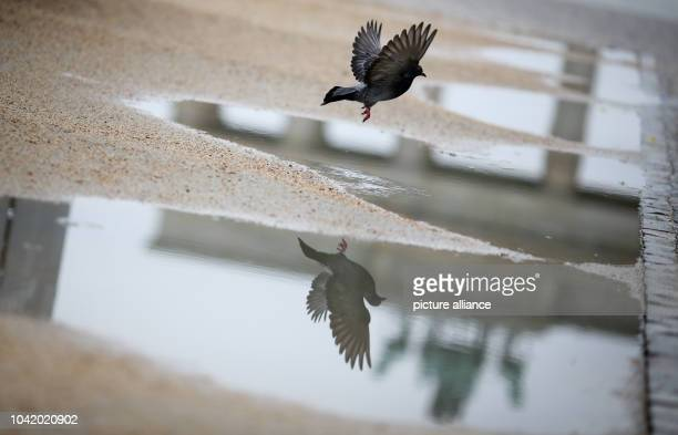 Pigeon flies over a puddle near Brandenburg Gate in Berlin Germany 31 May 2013 PHOTO KAY NIETFELD | usage worldwide