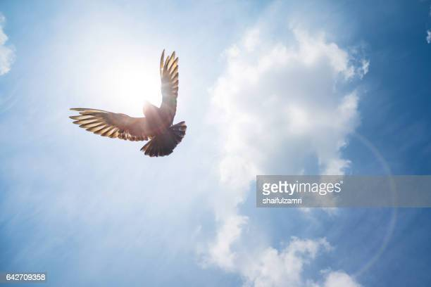 Pigeon flying high above me on sunny day