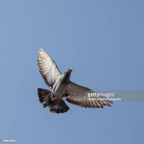 pigeon in flight - pigeon stock pictures, royalty-free photos & images