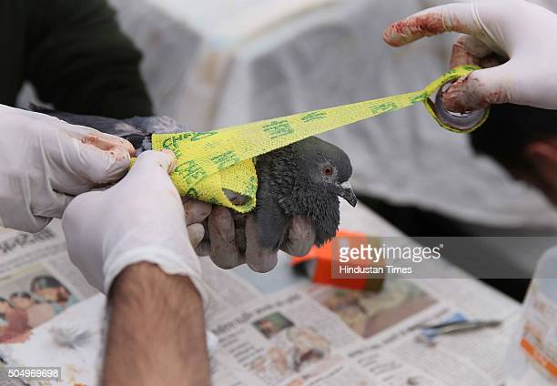 A pigeon injured by Maanjha being treated by a veterinary doctor at a voluntary bird injury camp on January 14 2016 in Jaipur Rajasthan India Due to...
