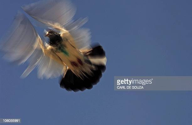 A pigeon is pictured as it flies from a coop in Lahore on October 24 2010 It is estimated that there are over 300000 pigeon fanciers in Lahore which...