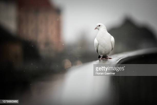 A pigeon is pictured during snow fall on January 09 2019 in Berlin Germany