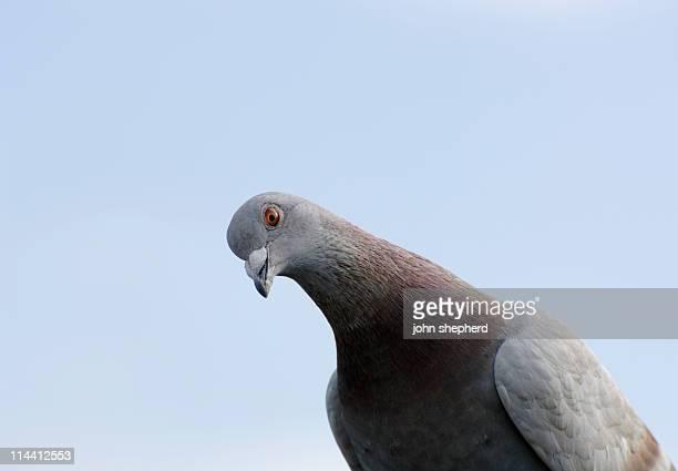 pigeon looking at camera