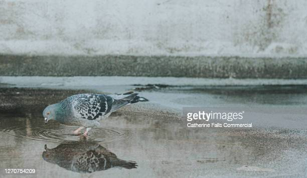 pigeon looking at its reflection in a puddle - animal body part stock pictures, royalty-free photos & images