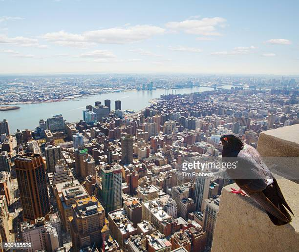 Pigeon looking at view of Manhattan, New York.