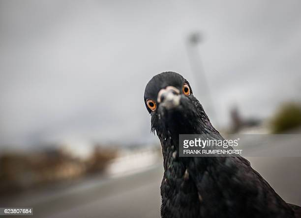 A pigeon looks in the photographer's camera in Frankfurt am Main western Germany on November 17 2016 / AFP / dpa / Frank Rumpenhorst / Germany OUT