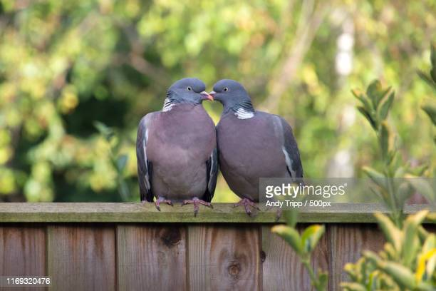 pigeon love - pigeon stock pictures, royalty-free photos & images