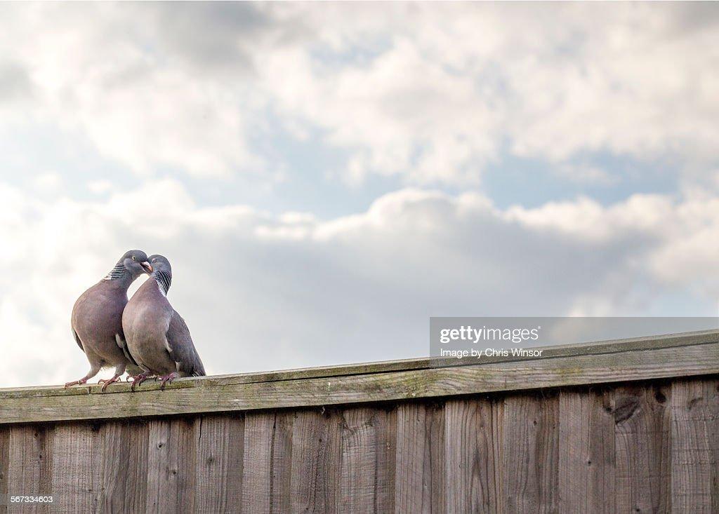 Pigeon love : Stock Photo