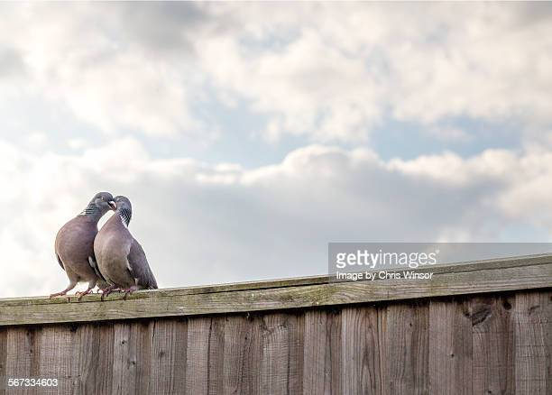 pigeon love - love at first sight stock pictures, royalty-free photos & images