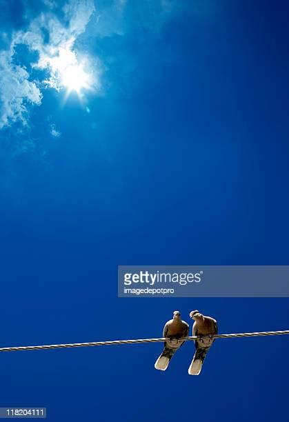 pigeon love under sun