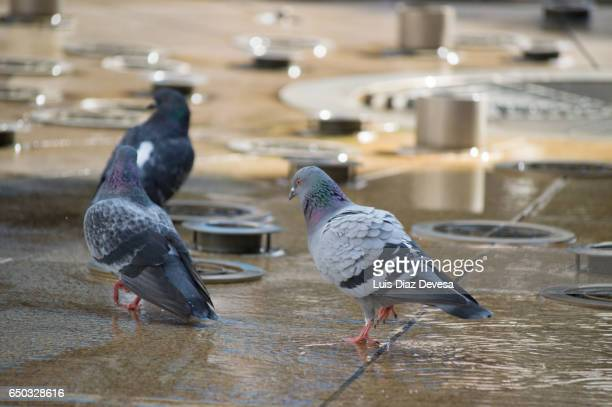 pigeon on fountain - mojado stock pictures, royalty-free photos & images