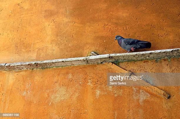 Pigeon on ochre wall, Venice, Italy, Europe
