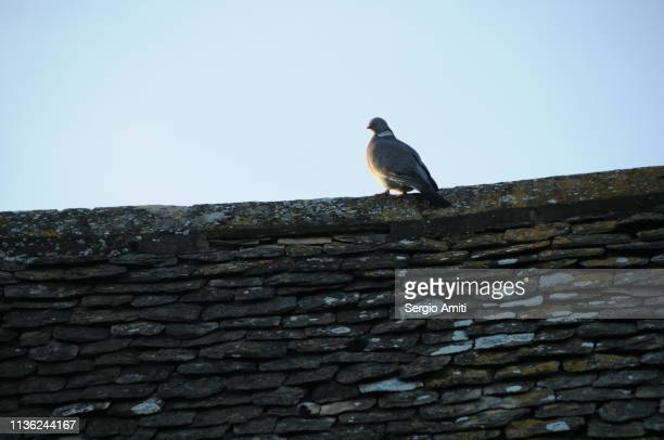 Pigeon on stone wall