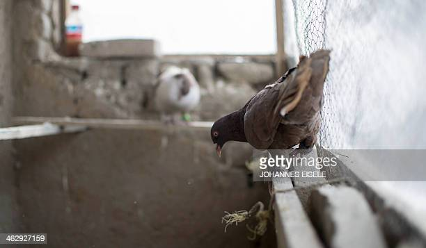 A pigeon owned by Afghan man Noor Mohammad perches in the shed on the rooftop of his home in the old quarters of Kabul on January 16 2014 Noor has a...