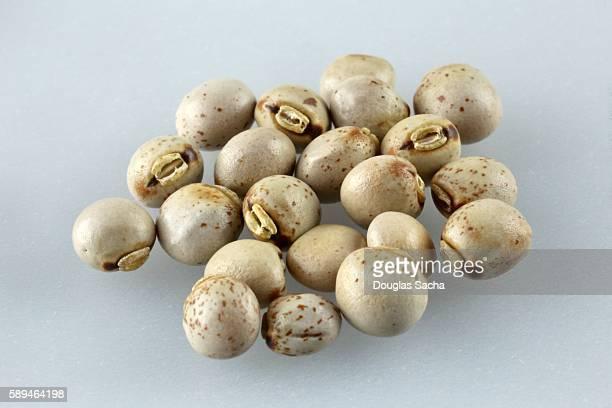 Pigeon Peas (Cajanus cajan) a common food grain in Asia, Africa, and Latin America