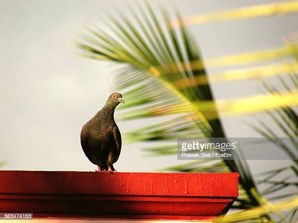 Pigeon Perching On Roof