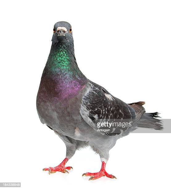 pigeon - pigeon stock pictures, royalty-free photos & images