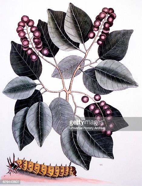 Pigeon Plum and Great Horned Caterpillar HandColored Etching Mark Catesby The Natural History of Carolina Florida and the Bahama Islands 17311743
