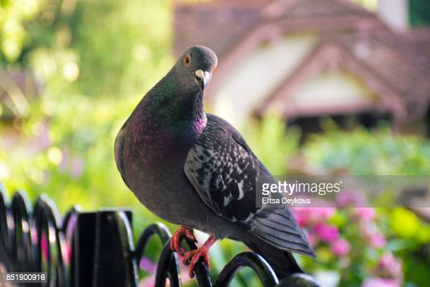 pigeon posing - pigeon stock pictures, royalty-free photos & images