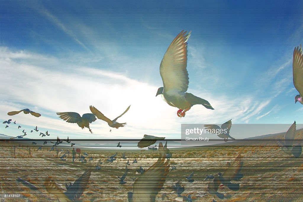 Pigeon Racing, 2007 Vegas Classic Pictures | Getty Images