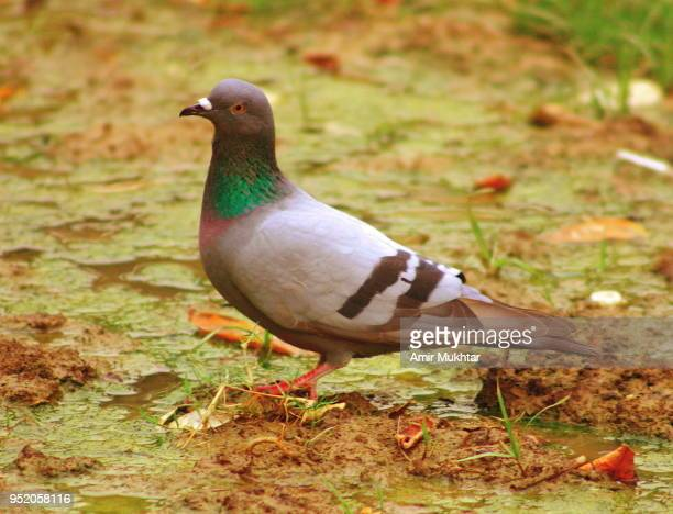 Pigeon sitting on marshy water