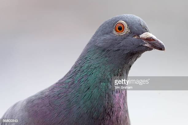 Pigeon Southbank of River Thames London UK Feral birds may be at risk from Avian Flu bird flu virus